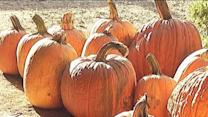 Summer drought leads to pumpkin shortage