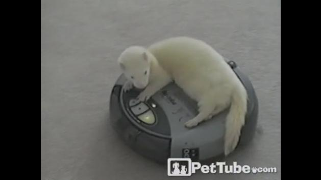 Ferret Does Its Chores