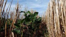 Cosecha argentina de soja caerá a 37,6 mln T debido a sequía: Gobierno