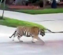Tiger caught on video roaming around Houston neighborhood