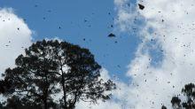 Monarchfalter aus USA und Kanada erreichen Winterquartier