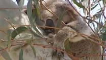 The giant koala count: Citizen census