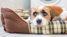 Qué hacer si tu perro sufre de ataques de pánico con los fuegos artificiales