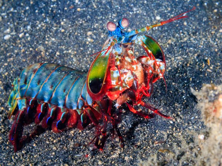 mantis shrimp Hello, i have a mantis shrimp which had been eating well at the pet store but has stopped since i moved him into my tank i have experience with other marine invertebrates, the water chemistry nad temperature is ideal.