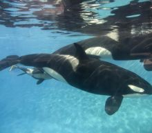 Seaworld: Another killer whale dies after suffering from a bacterial infection for 10 years