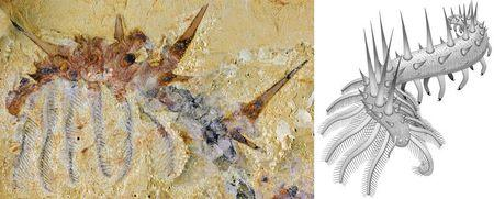 A fossil of Collinsium ciliosum, a Collins' monster-type lobopodian found in the early Cambrian Xiaoshiba biota of southern China; with an illustration