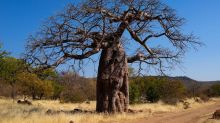 "Déforestation. En Angola, ""Adieu, les baobabs"""