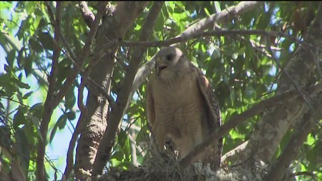 Nesting red-shouldered hawks attack, closing part of Nova Southeastern University in Tampa