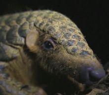 Coronavirus panic could be the endangered pangolin's new threat