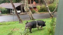 A true hamburglar: Man says he'll watch lost pet pig, slaughters it instead