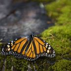 Monarch Butterfly Activist Missing in Mexican Cartel Country