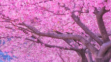 Cuando viajar a Japón si quieres ver los cerezos florecer