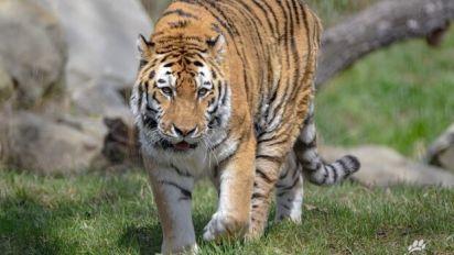 'Playful' tiger put down at Calgary Zoo