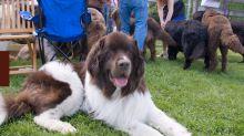 I 10 cani più grandi del mondo