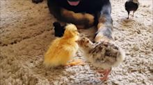 German Shepherd watches over turkey and duck hatchlings