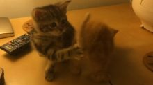 Kittens chase each other's tails in sync