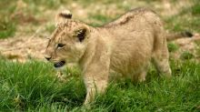 Police seize lion cub from Paris suburb apartment