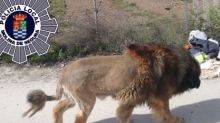 'Lion' wandering in Spanish town turns out to be dog with unusual haircut