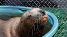 Sea lion suffering from gunshot wounds to the head brought to Vancouver Aquarium