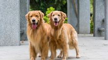 This Job Pays $38K to Live in a London Townhouse and Watch Two Golden Retrievers