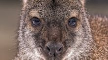 The curious mystery of the wild wallabies living on the Isle of Man