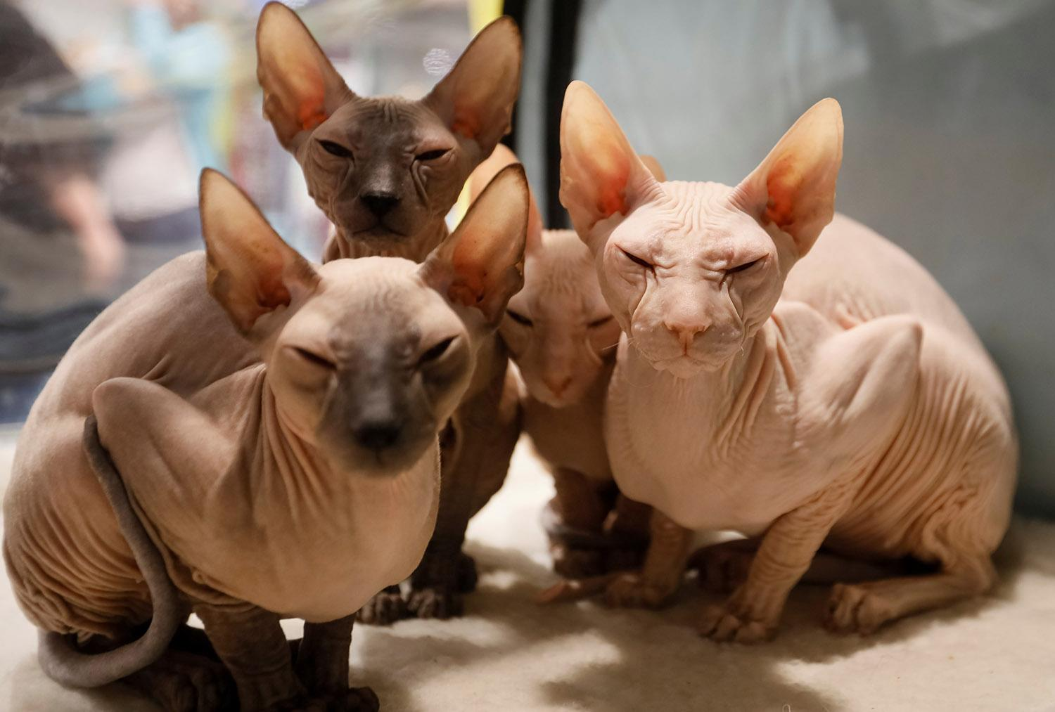 <p>Peterbald kittens sit inside their cage during a regional cat exhibition in Almaty, Kazakhstan April 8, 2017. (Photo: Shamil Zhumatov/Reuters) </p>