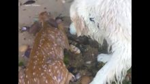 Dog saves fawn struggling to stay afloat in Long Island Sound
