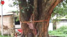 Peepal tree In Hinduism: Significance, Benefits and Remedies