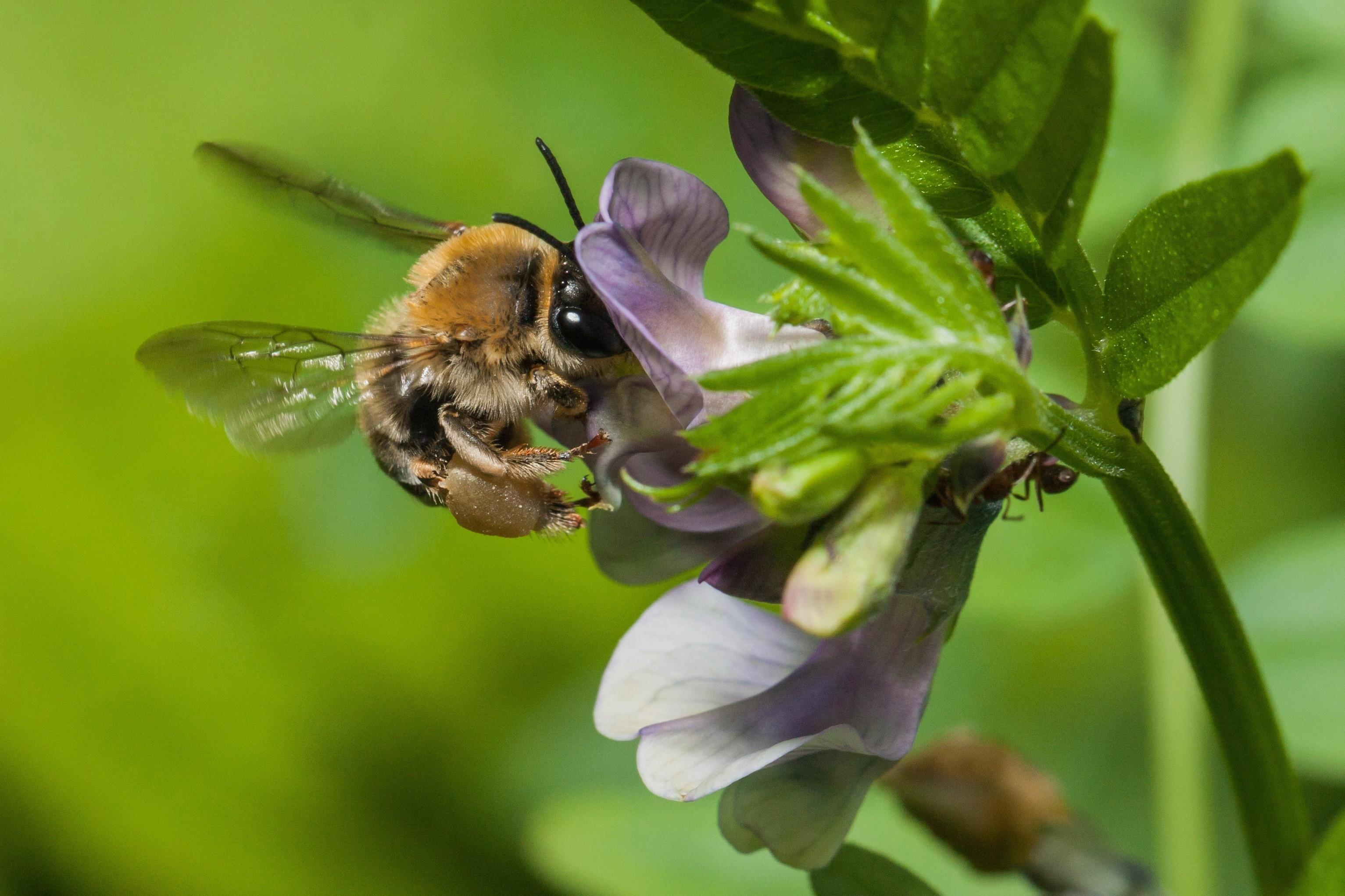 bee disappearance The disappearance of honey bees poses a serious threat to cultivated crops and  the 90 percent of wild plants that are dependent on insect.