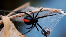 Spiders could theoretically eat every human on earth in a year and still be hungry