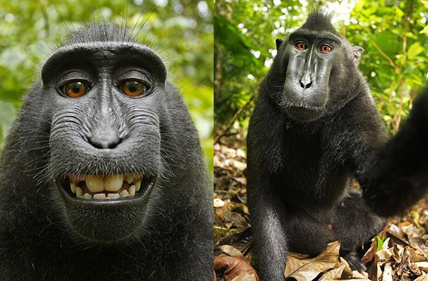 US officials say monkey selfies can't be copyrighted (because it had to be said)