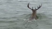 'Giant Deer' Spotted Swimming in Lake Texoma