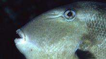 Le baliste commun, un poisson qui n'hésite pas à s'attaquer aux baigneurs