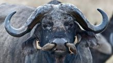 Birds get right up buffalo's nose. Literally