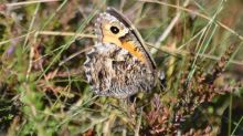Country diary: gripped by a grayling's disappearing act