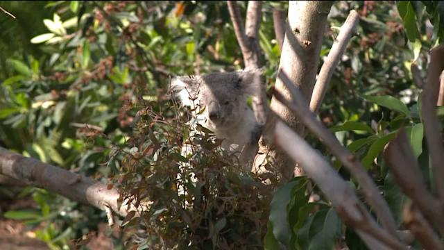 Koalas Make Big Debut at San Diego Zoo