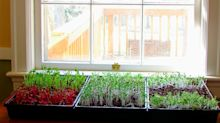 Grow to eat: microgreens, the tasty garnish that grows on the windowsill