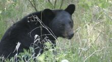 Internal documents reveal how N.S. handles dangerous and nuisance black bears