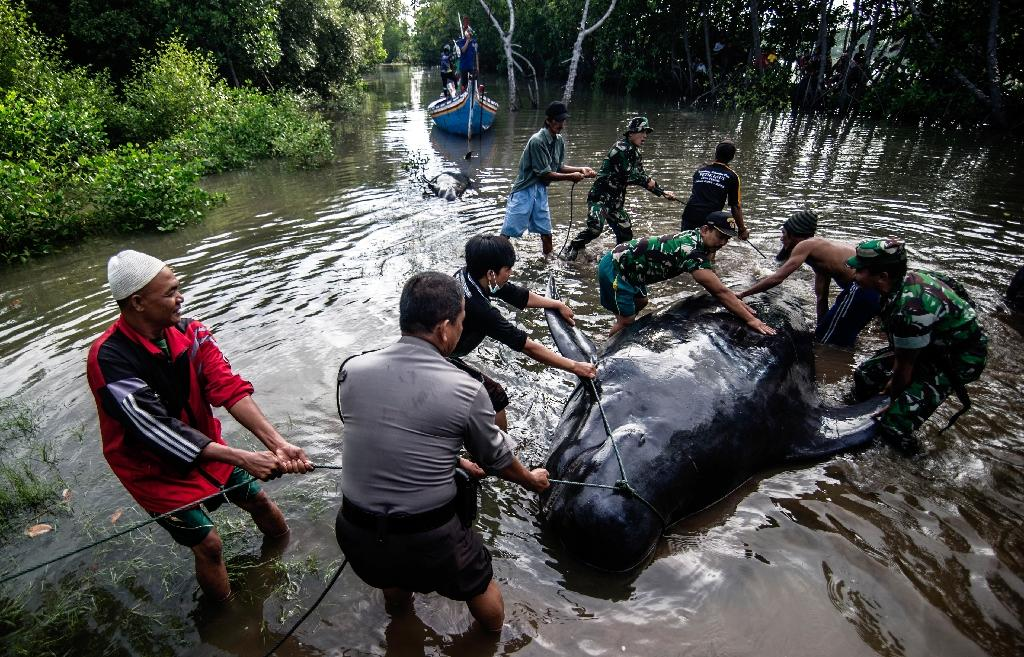 Indonesian environmental activists, military and police personnel and villagers try to help a group of short-finned pilot whales stranded during a high tide in Probolinggo, East Java province on June 16, 2016 (AFP Photo/Juni Kriswanto)