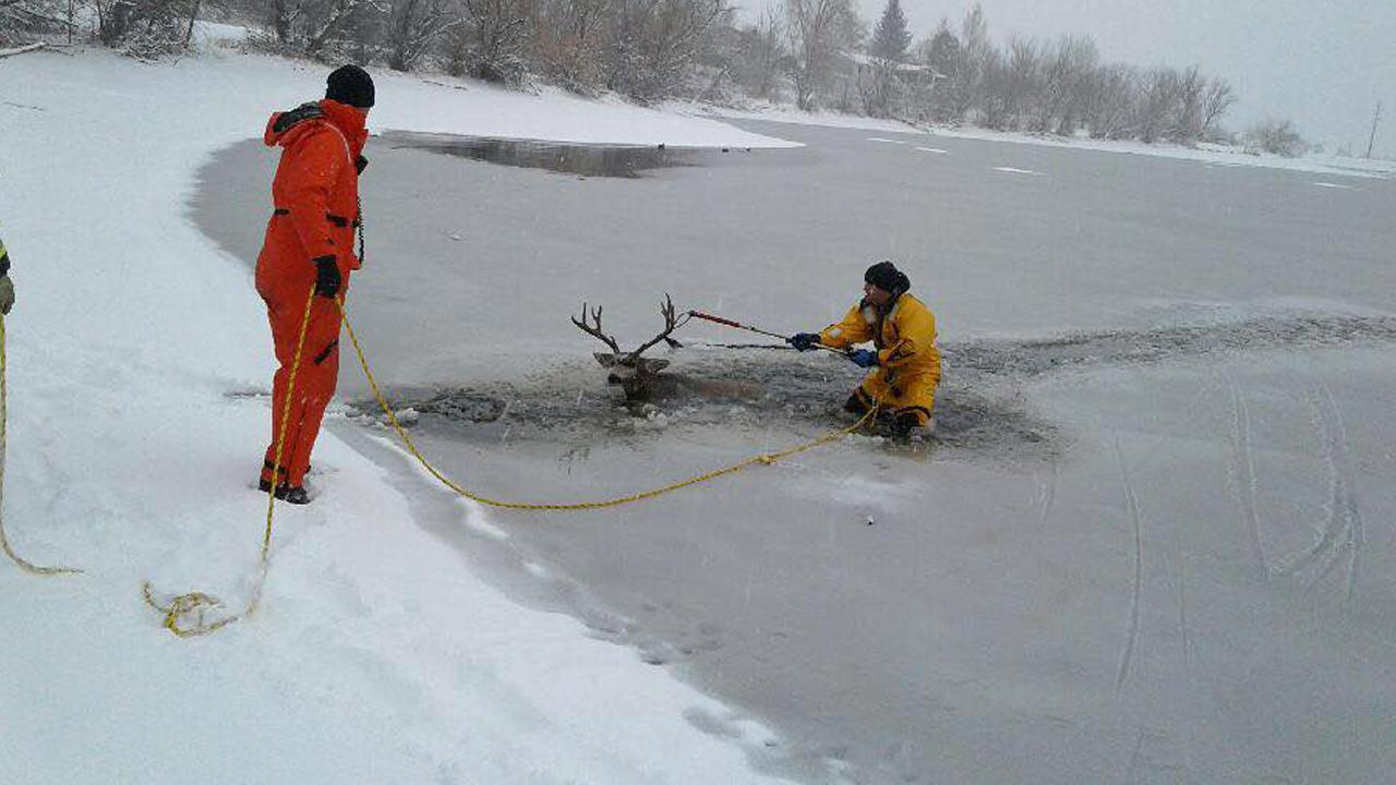Rescue Crews in Colorado Save Deer Trapped in Frozen Reservoir