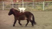 Da non credere: un cane che cavalca un cavallo è il nuovo idolo del web