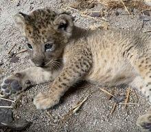 Singapore's 'Lion King' cub Simba born from dead dad Mufasa's semen