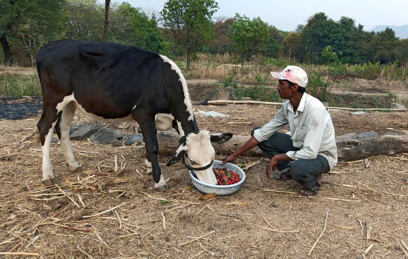 FILE PHOTO: Anil Salunkhe, a farmer, feeds strawberries to his cow during a 21-day nationwide lockdown to slow the spread of coronavirus disease (COVID-19), at Darewadi village in the western state of Maharashtra, India
