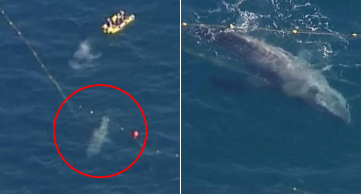 Huge whale caught in shark nets off Gold Coast in 'rare' event