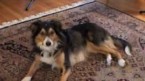 Classy Dog Sings 'Auld Lang Syne'