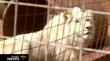 Salvemos a Mufasa, la campaña contra la subasta de un magnífico león blanco