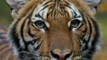 Bronx zoo tiger tests positive for coronavirus