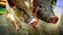 Mammals can breathe through anus in emergencies: study