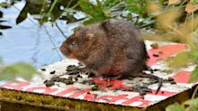 Ratty returns as water voles flourish in the Yorkshire Dales