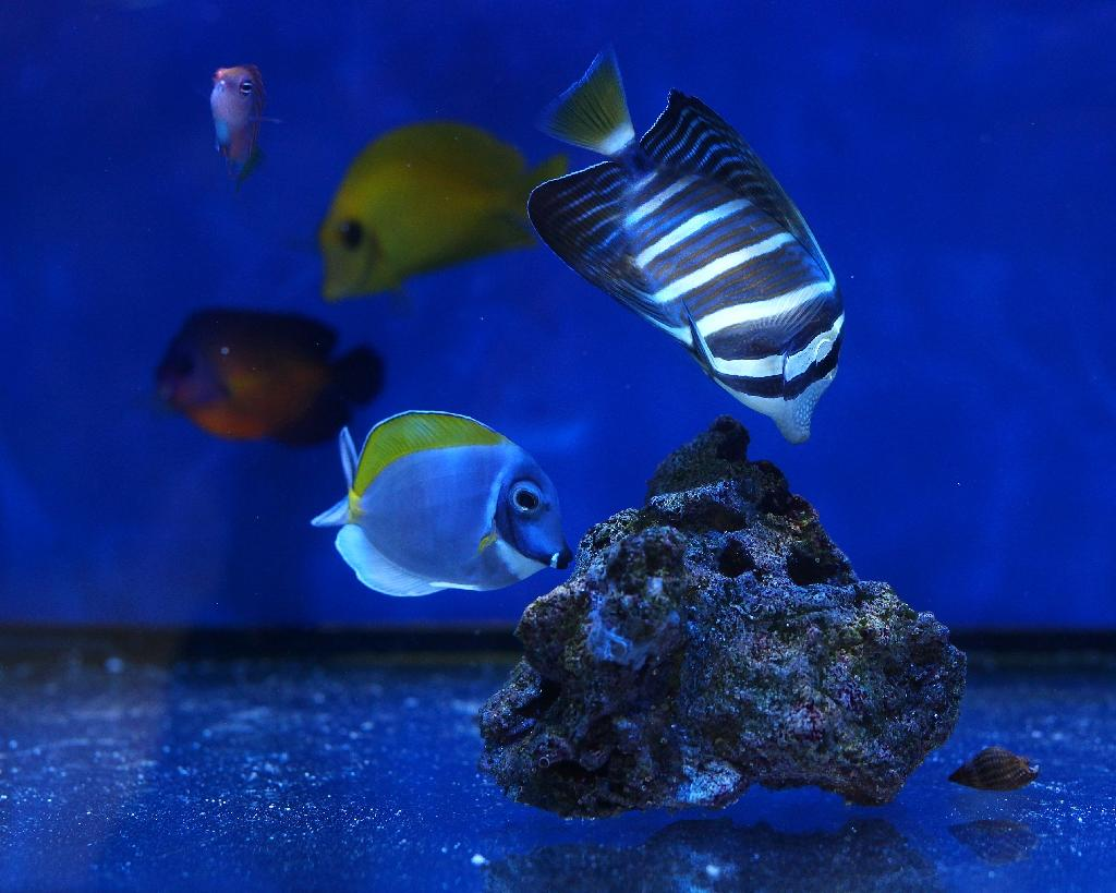 killing nemo cyanide threat to tropical fish